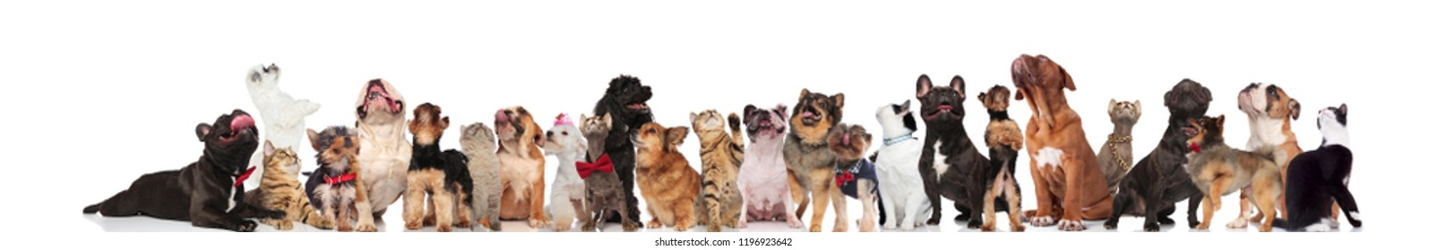 large team of cute cats and dogs looking up while standing and sitting on white background, wearing red bowties and colorful collars