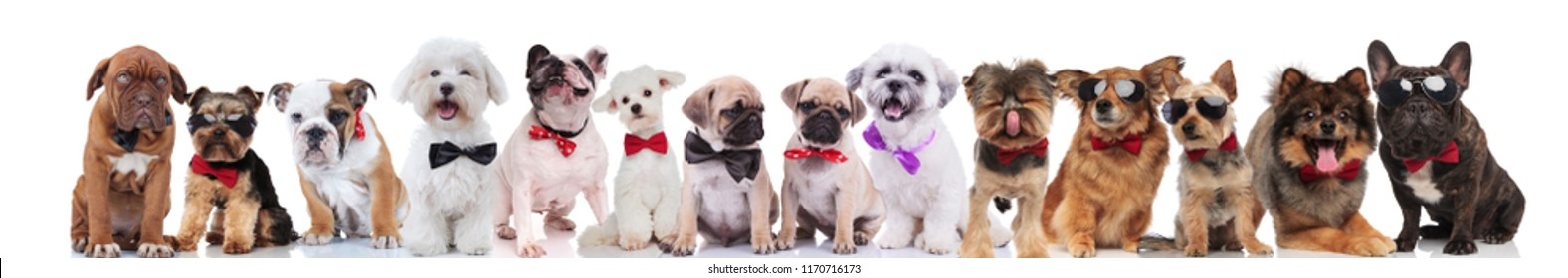 large team of cute stylish dogs of different breeds wearing bowties and sunglasses, standing, sitting and lying on white background