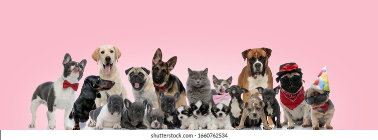 Large team of domestic animals posing while being dressed, sitting, standing and laying down on pink background