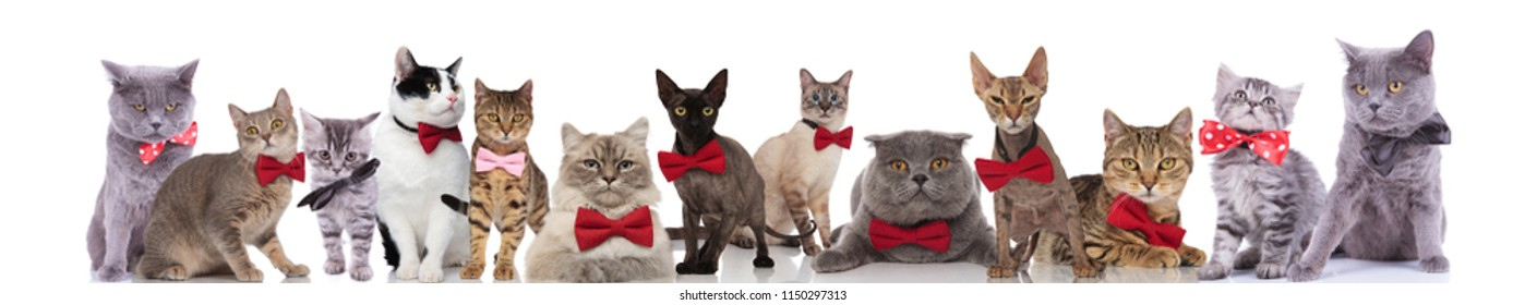 Large Team Of Elegant Cats Different Breeds Wearing Bowties While Standing Sitting And Lying