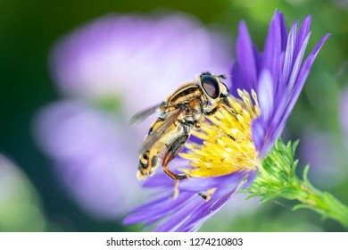 A large tiger hoverfly - Helophilus trivittatus resting on an aster