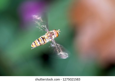 A large tiger hoverfly - Helophilus trivittatus during the flight
