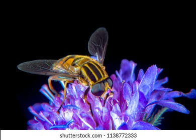 Large Tiger Hoverfly on a thistle flower