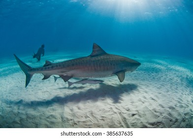 A large tiger shark gliding along the ocean floor with a scuba diver in the background