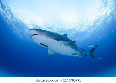 Large Tiger Shark Swimming in Blue Ocean Waters of Bahamas