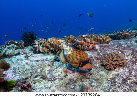 Large Titan Triggerfish Balistoides