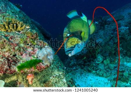 A large Titan Triggerfish