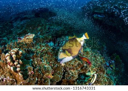 Large Titan Triggerfish feeding