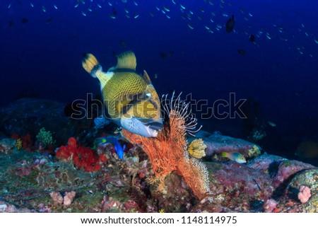 Large Titan Triggerfish on