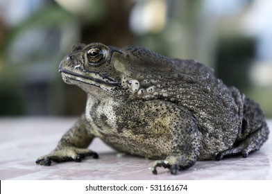Large toads living near houses Insect is not dangerous