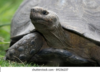 A large tortoise with it's neck extended and walking on green grass