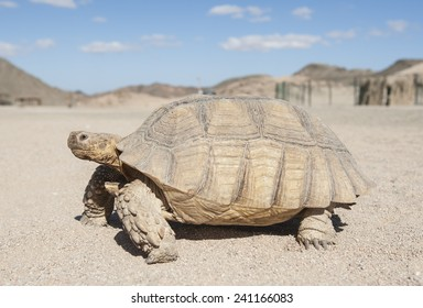 Large tortoise reptile walking on sandy ground through an arid desert landscape