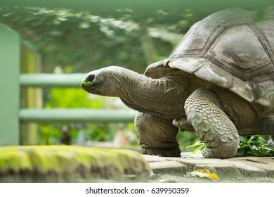 Large tortoises are walking