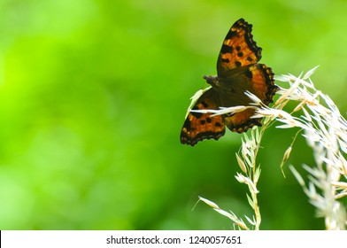 The large tortoiseshell or blackleg tortoiseshell butterfly(Nymphalis polychloros). Beautiful large butterfly