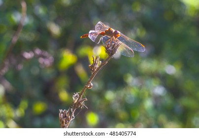 Large transparent dragonfly sits on a branch in front of the sun, close up insect photo on green background