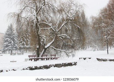 Large tree covered by snow in the winter park