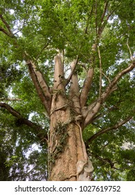 Large tree covered with lianas in the rainforest, Indonesia.
