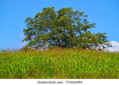 Large tree in a Field of Hay