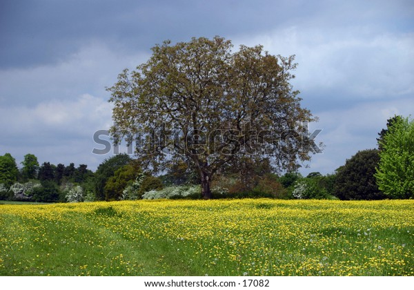 large tree in field of yellow flowers