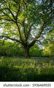 A large tree in a forest surrounded by bluebells