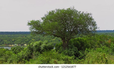 A large tree growing out of the jungle in Murchison Falls National Park, Uganda.  In the distance the shore where the ferry terminal is located can be seen.
