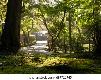 Large tree in Japanese garden with shade of light