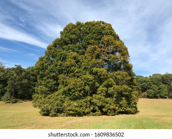 A large tree in the middle of a field at Caumsett State Historic Park Preserve In Lloyd Neck, Long Island, New York.