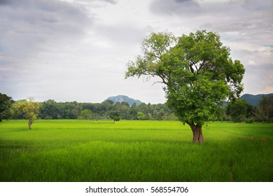 A large tree in the middle of a green field.