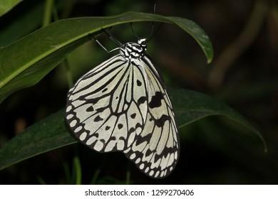 large tree nymph idea leuconoe beautiful butterfly