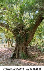 A large tree of oak of 600 years old at Mi shima Sizuoka, Japan