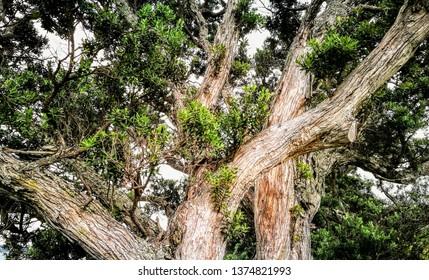 Large pōhutukawa tree on Waiheke Island, New Zealand