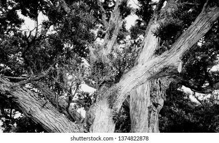 Large pōhutukawa tree on Waiheke Island, New Zealand, black and white.