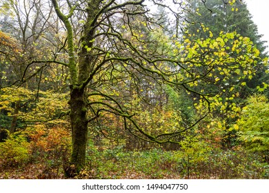 A large tree overgrown with moss. Autumn colors in the forest