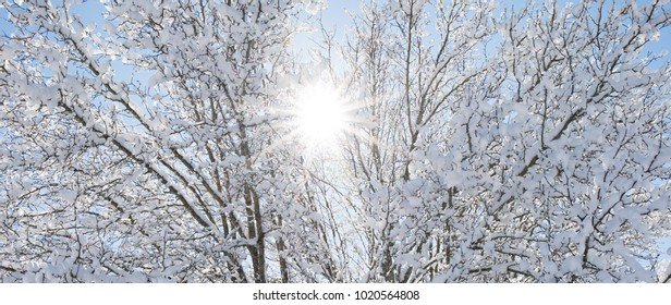 Large tree with snow covered branches with a sun flare peeking through the brances and blue sky.