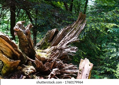 Large tree stump uprooted in the woods.