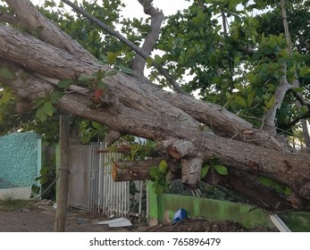 large tree that fell during hurricane Maria in Puerto Rico
