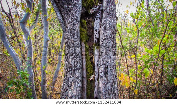 Large tree trunk with green moss growing inside