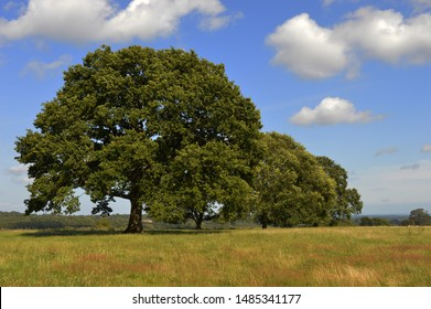 Large trees in English country side