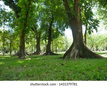 large trees with roots covering the ground, large trees in the garden