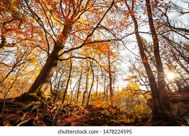 Large trees Shine in the Golden evening sun in the forest. The season of autumn in the mountain forest of the Harz mountains