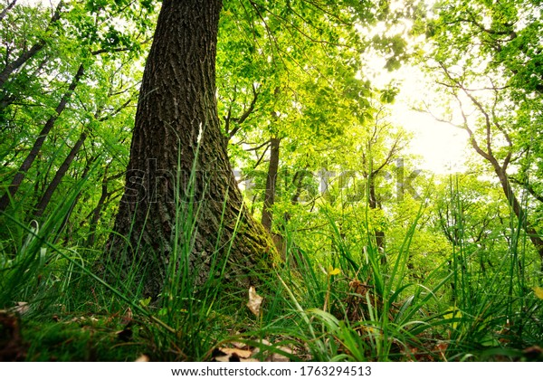 Large trees soar into the sky towards the sun. Producers of oxygen