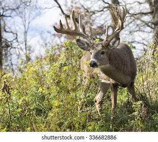 Large, trophy sized whitetail deer buck, alert and cautious
