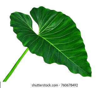 Large tropical green leaf, philodendron, Elephant Ear, Taro, rain forest jungle plant, isolated on white background