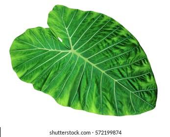 Large Tropical jungle leaf, Elephant Ear, Tara Plant, isolated on white background