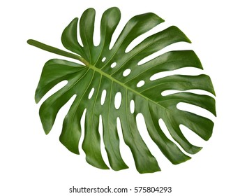 Large tropical shiny jungle leaf called Monstera, Swiss Cheese or Hurricane Plant, with unique holes and splits, a natural adaptation to withstand strong winds, isolated on white background