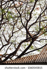 large tropical tree branches with green fine leaves looks like Acacia or Horse Tamarind tree growth over a school roof