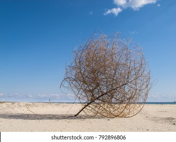 Large tumbleweed blown onto a sandy beach with bright blue sky. Brown, round, dead bush with lots of spikes and curves. Copy space