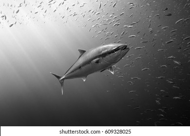A large tuna swims though the clear ocean water with sun rays penetrating the water and sardines swimming around.