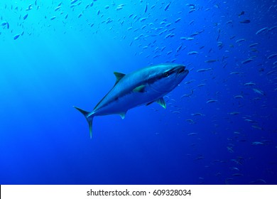A large tuna swims through clear blue water, with sun rays penetrating the water and sardines swimming around