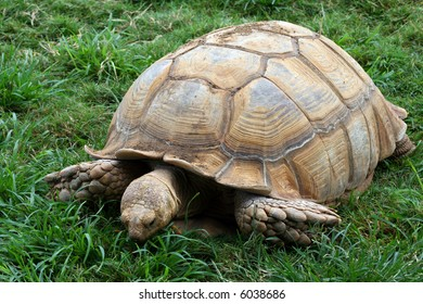A large turtle eating the green grass under him.